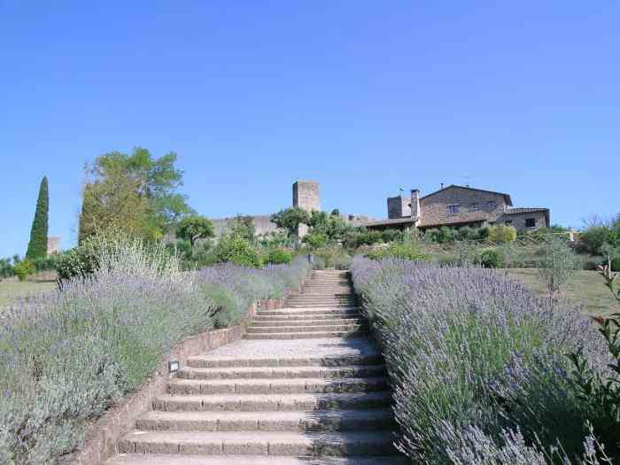 Monteriggioni Lavender fields in Tuscany Italy