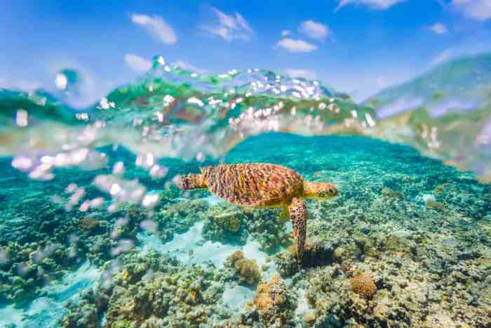 turtle as shot underwater using a gopro dome port