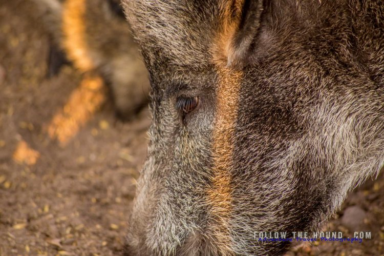 Wild boar closeup
