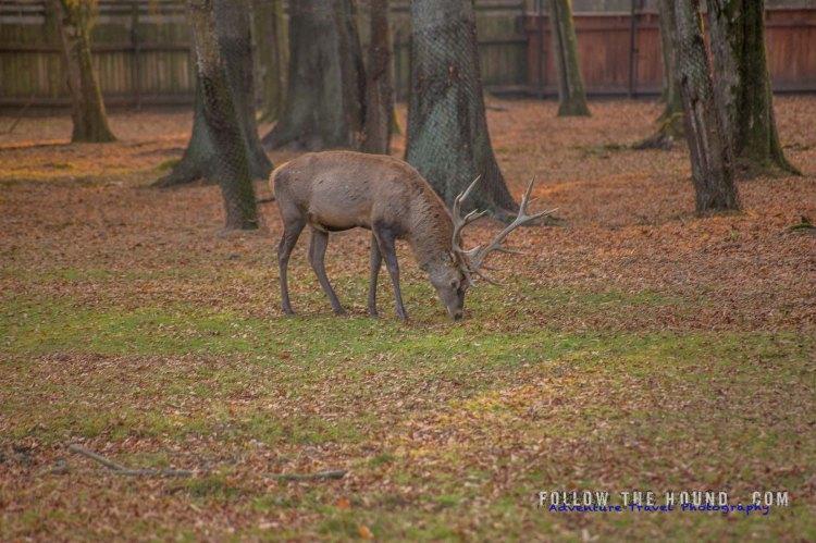 Deer Poland