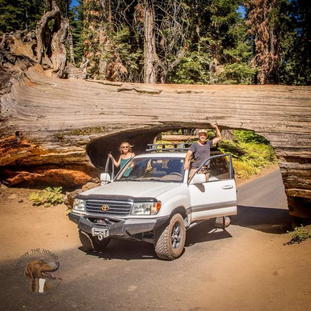 Driving through a fallen tree in #Seqoia #NationalPark toady was pretty cool! Glad we were in a #Cruiser that we borrowed from georg @ValleyHybrids as im not sure that ours would have fit! #Redwood #BigTrees #LandCruiser