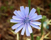 Curarsi con la cicoria selvatica (Cichorium intybus L.)