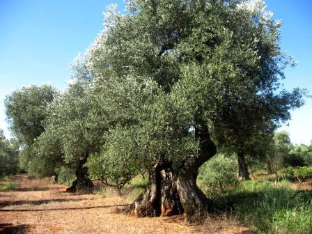 A settant'anni dalle lotte dell'Arneo, una riflessione sulla riforma agraria nel Salento (1950-1960) (terza parte)