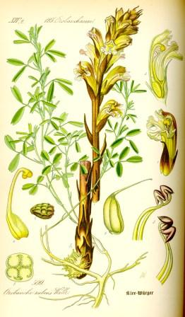illustration_orobanche_lutea0