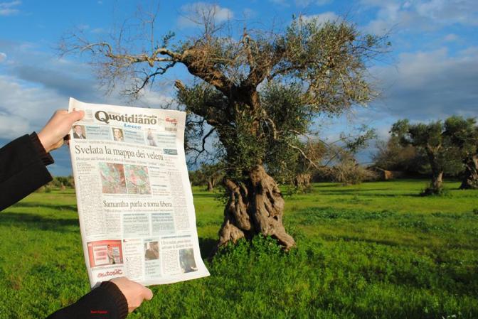 23 nov 2013, Salento, olivi disseccati in rivegetazione, contro le menzogne, 3