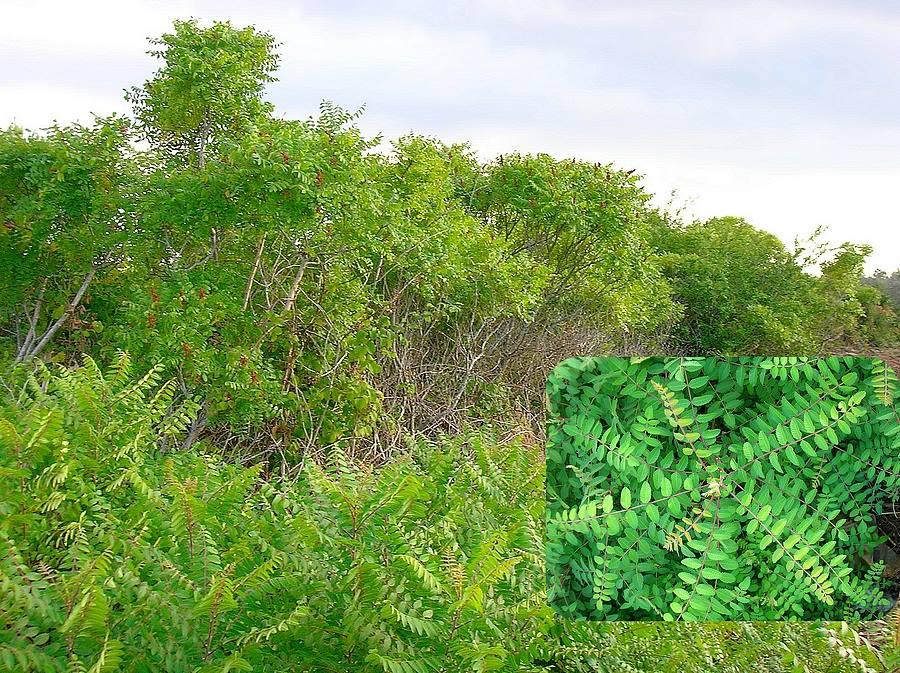 Il Sommacco siciliano (Rhus coriaria), nel Salento