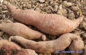 Le patate dolci hanno sempre più estimatori