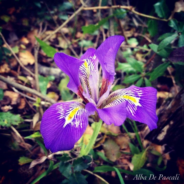 Una varietà di Iris nel Salento