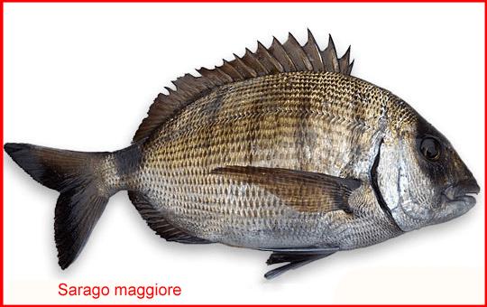 Saraghi & Co., i pesci più pregiati dei mari del Salento (II parte)