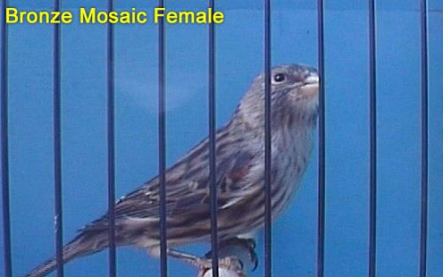 Bronze Mosaic Female Canary