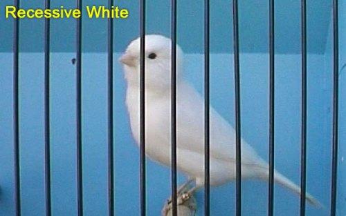 Recessive White Canary