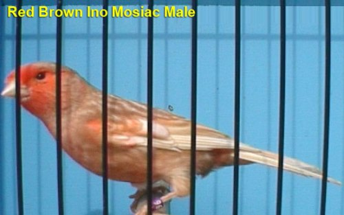 Red Brown Ino Mosiac Male Canary