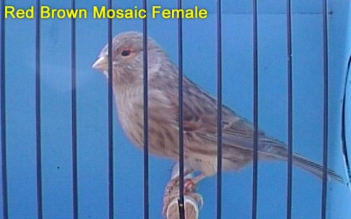 Red Brown Mosaic Female Canary