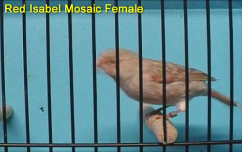 Red Isabel Mosaic Female Canary