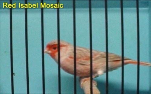 Red Isabel Mosaic Canary