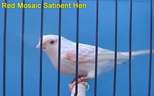 Red Mosaic Satinent Hen Canary