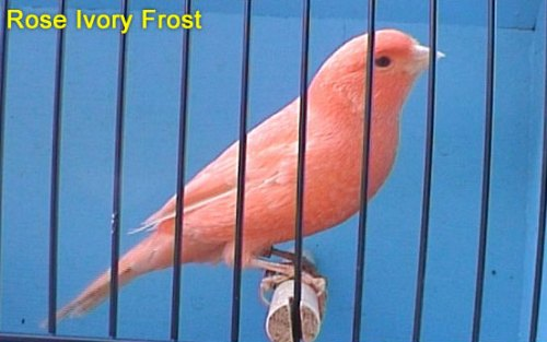 Rose Ivory Frost Canary