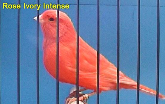 Rose Ivory Intense