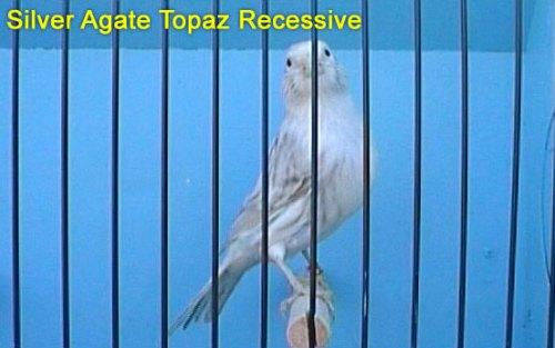 Silver Agate Topaz Recessive Canary