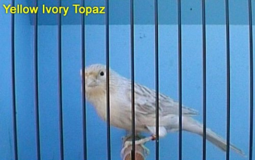Yellow Ivory Topaz Canary