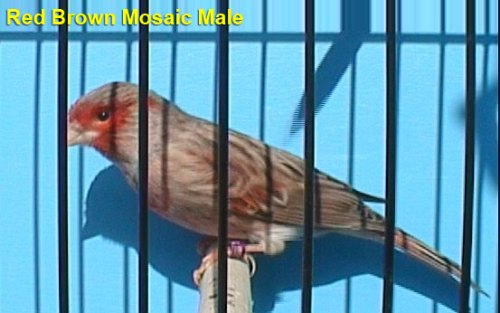 Red Brown Mosaic Male Canary