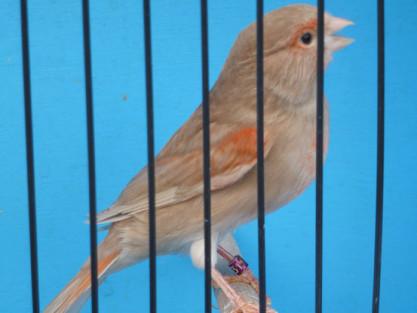 Red Brown Pastel Hen