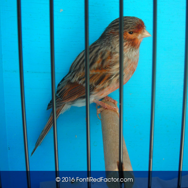 Red-Brown-Mosaic Canary Bird