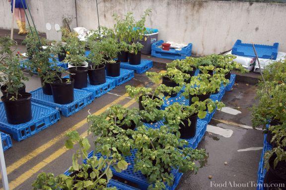 SoEx Farm Tomato Gooseberry
