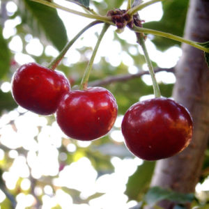 tart cherries for pain relief