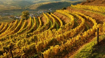 2017: A very fine and abundant vintage for Austrian wine with winemakers describing it as a picture perfect year