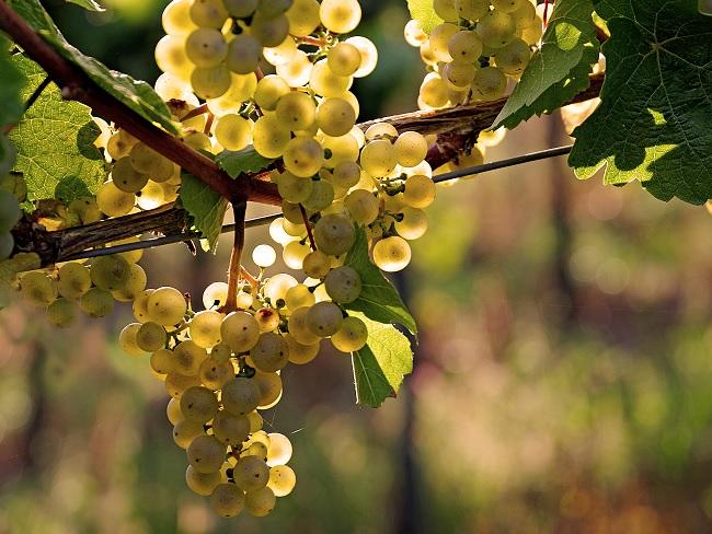 Earliest harvest in decades for 2018 Austrian wine vintage