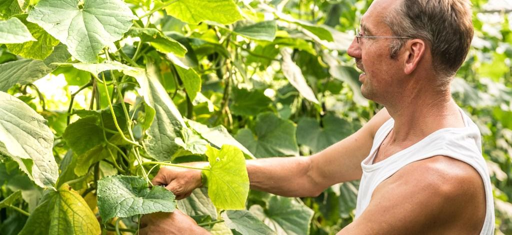 Manfred Urban bei den Gurkenpflanzen im Gewächshaus
