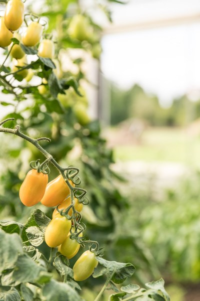 Gelbe Tomaten im Gewächshaus