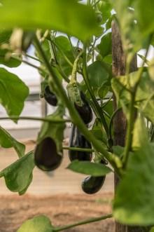 Auberginenpflanze im Gewächshaus