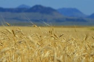 Campo-in America-coltivato-a.kamut