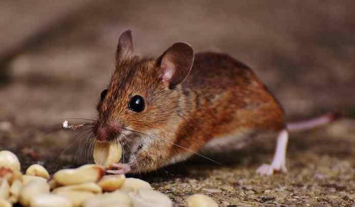Homemade rodent treats