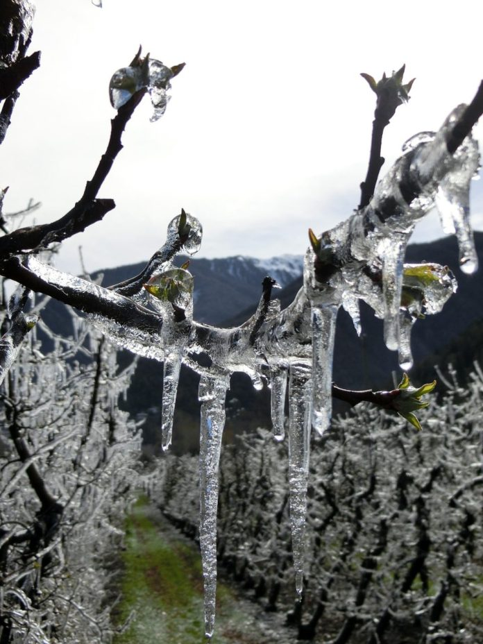 French Vintage 2021 Hit by Frost