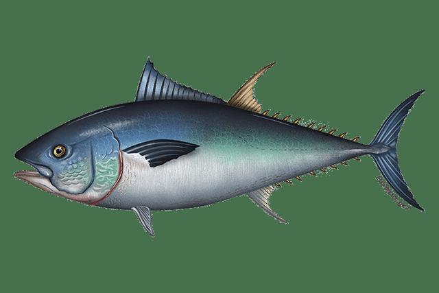 640x427 western atlantic bluefin tuna