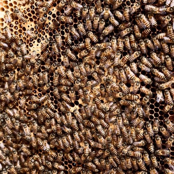 Grossa quantità di api.