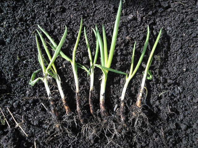 welsh onion divided