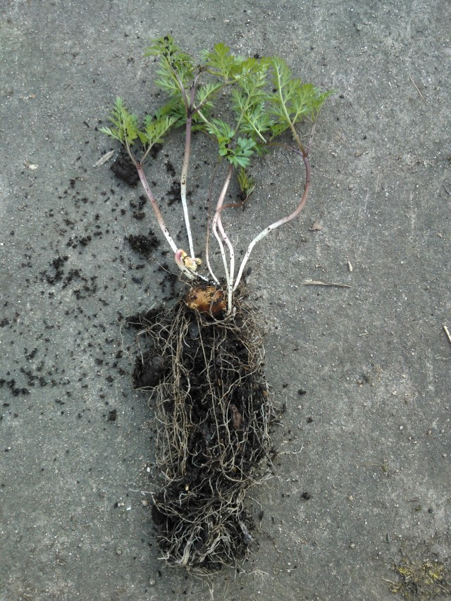 roots and stems emerging from pignut corm