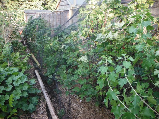 netted currants