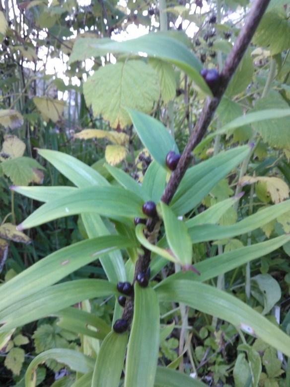 tiger lily bulbils