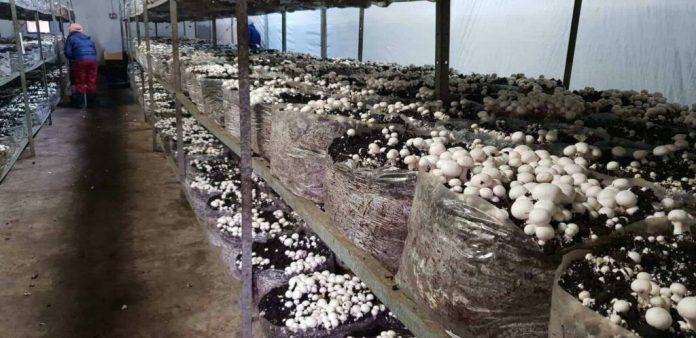 Mushroom farming is done indoors
