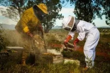 Mokgadi Moloko Mabela (in white) with her father Peter Mabela smoking bees to harvest the honey. Photo Credit: Optix Legacy