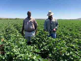 Farmers in the cotton field in the Taung area, North West.