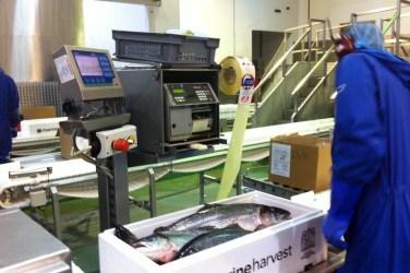 marine harvest scottish salmon