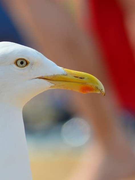 seagull aberdeen cheeky