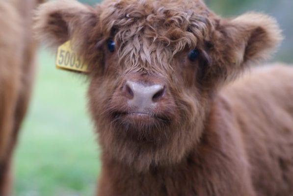 Pollok park highland cow hieland coo