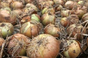 onion growing allotment